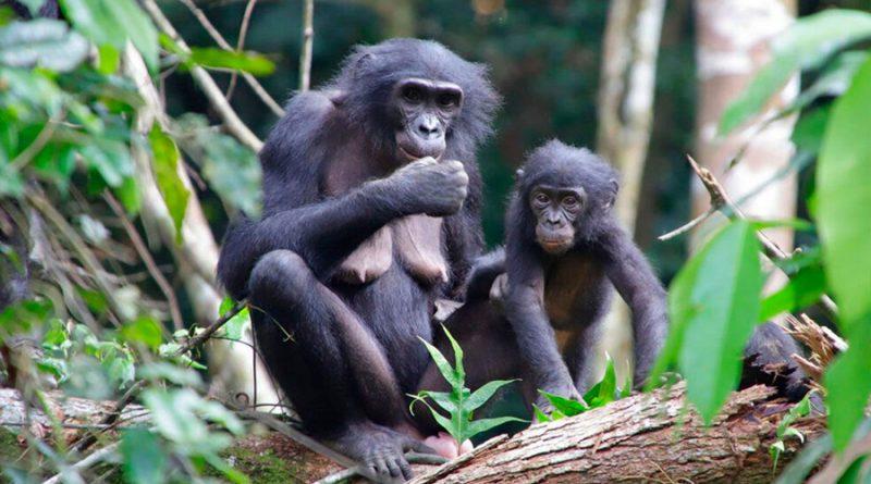 Nunca antes visto: bonobos hembra adoptan bebés de otros grupos