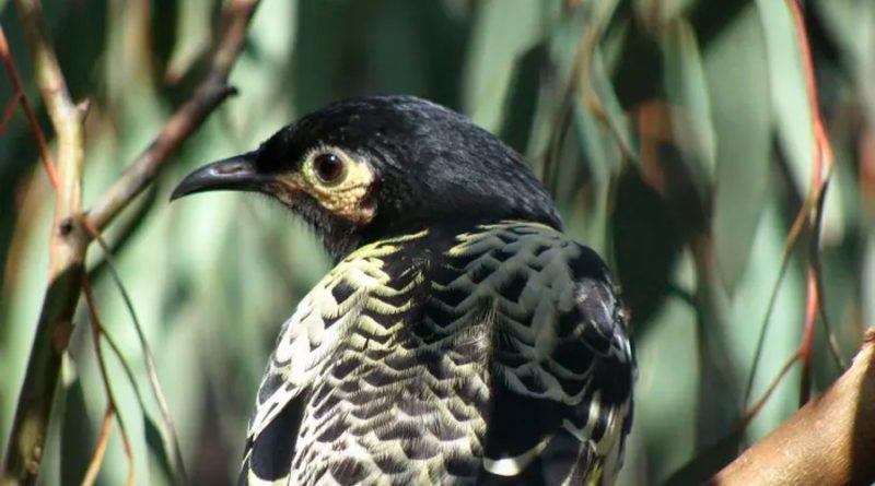 Un ave está a punto de extinguirse porque ha olvidado su canto de apareamiento