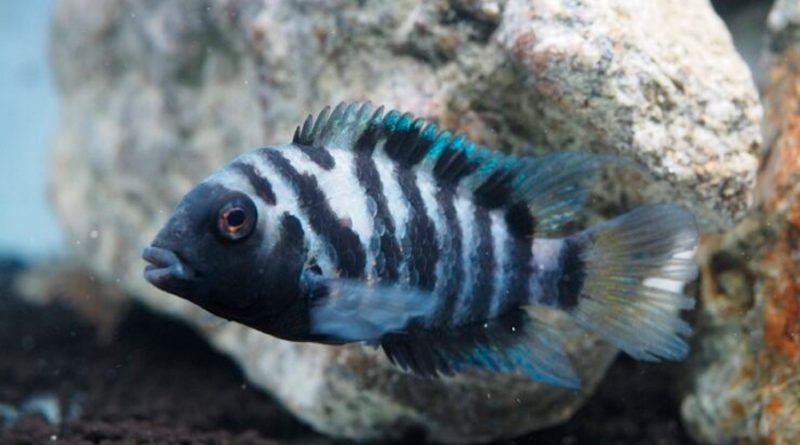 Los peces son altruistas o egoístas según el contexto