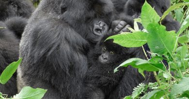 Como los humanos, los gorilas pueden adoptar a bebés huérfanos de su manada