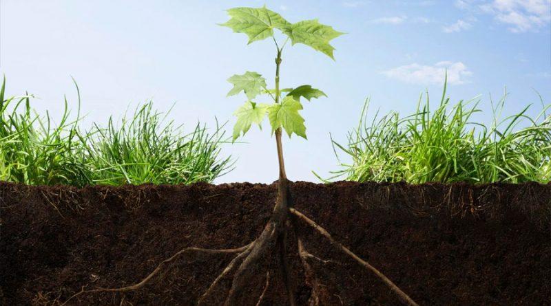 Descubren cómo las raíces de las plantas buscan la humedad del suelo