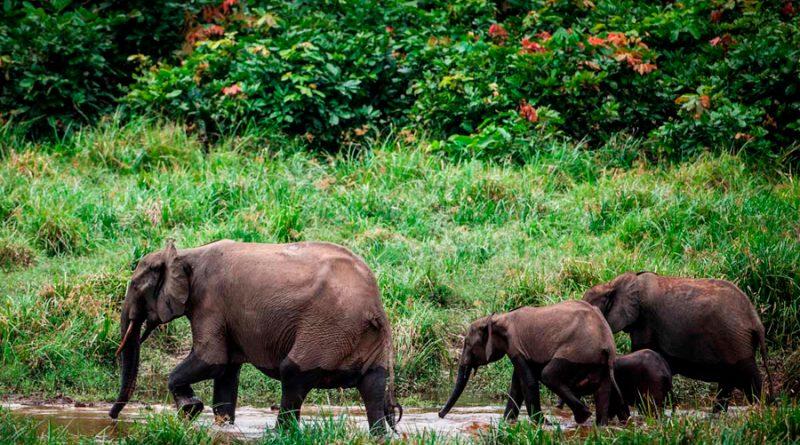 Elefantes de la selva africanos en peligro crítico de extinción
