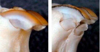 Nuevo medicamento consigue que crezcan dientes en ratones que carecen de ellos