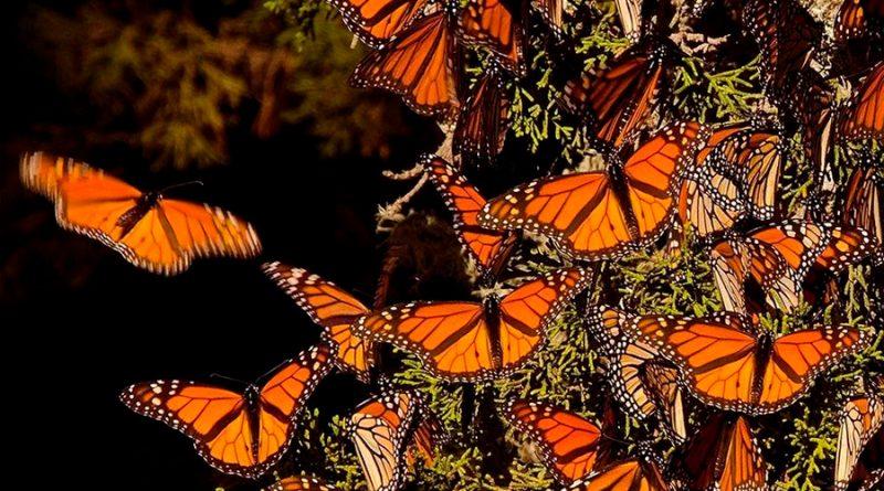 Mariposa monarca reduce su presencia en México ante falta de néctar