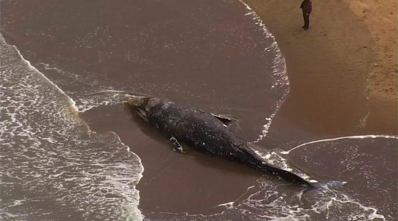¿Porqué hay cada vez más ballenas grises muertas en las costas de Norteamérica?