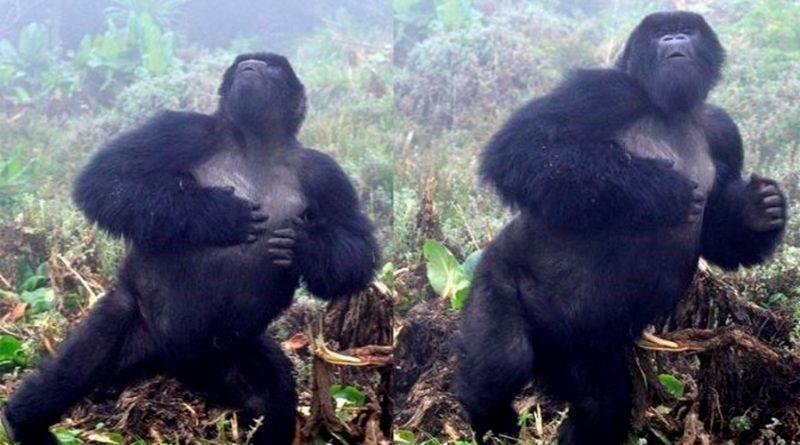 Gorilas de montaña usan los golpes de pecho como tarjeta de visita