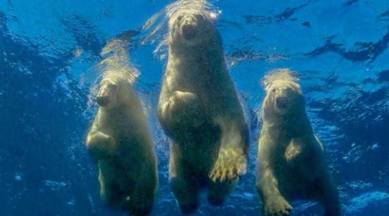 """Un fotógrafo logró su """"sueño loco"""" de nadar con osos polares"""