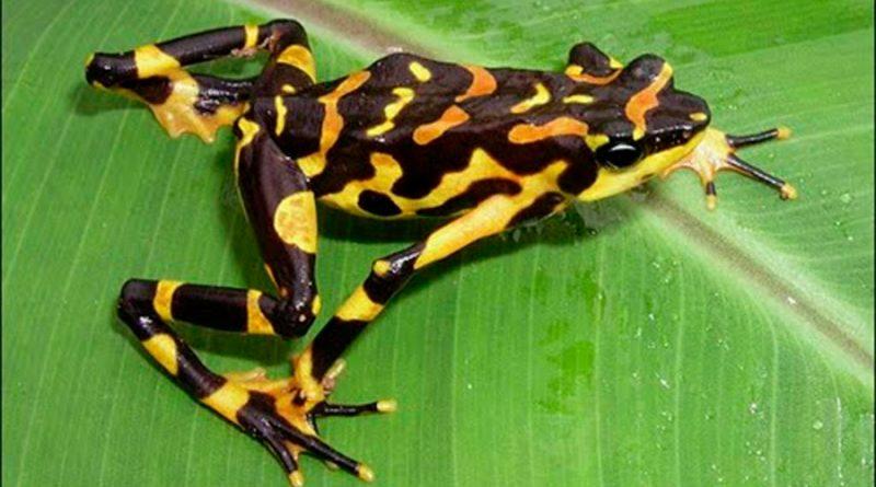 Hallan nueva especie de rana arlequín en la selva entre Panamá y Colombia