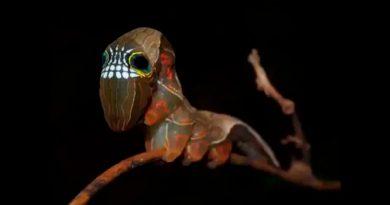 Esta polilla australiana es tan fascinante que cuenta con una máscara cuando detecta un peligro