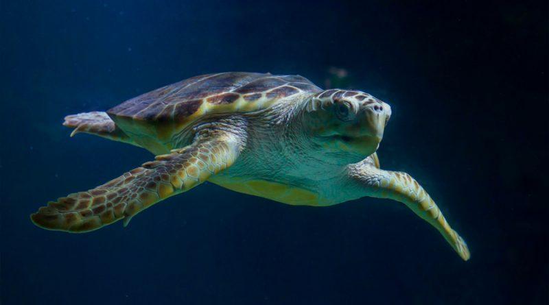 Descubren cómo las tortugas logran atravesar las gélidas aguas del Pacífico en una migración de 14,500 kms