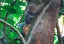 Descubren en Ecuador nueva especie del primate más pequeño del mundo