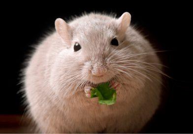 Un fármaco ya en uso en humanos corrige la obesidad en ratones sin efectos secundarios