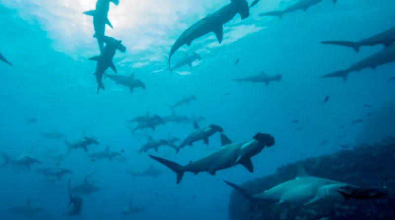 Travesía de un tiburón martillo, de Galápagos a Cocos a 50 kilómetros por día