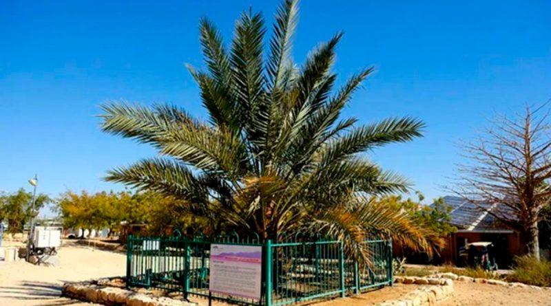 Resucitan una palmera extinta gracias a unas semillas de hace 2,000 años