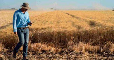 Un nuevo trigo fortificado con zinc está listo para su expansión mundial y fue creado por mexicanos