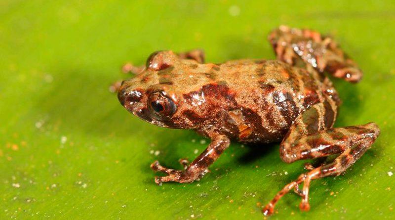 Perú descubre nueva variedad de rana Pristimantis