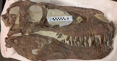 Los T. Rex fueron depredadores sociales que actuaban como lobos