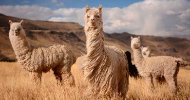 Descubren que anticuerpo de alpaca contra covid-19 también funcionaría contra variantes