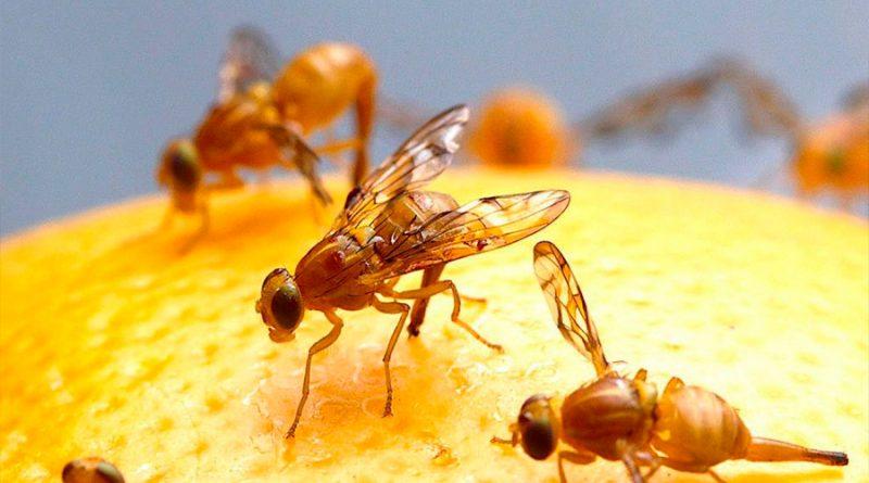 Las moscas de la fruta pueden viajar 6 millones de veces su cuerpo en un vuelo
