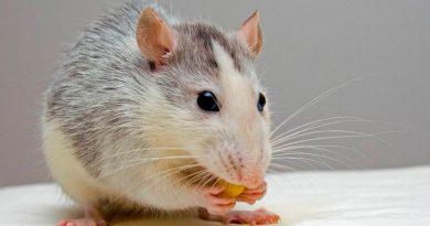 Desarrollan un fármaco que revierte los síntomas del alzheimer en ratones