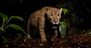 Identifican hábitats potenciales de jaguares en la frontera México-Estados Unidos