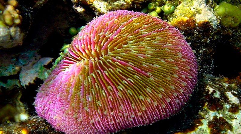 Los corales podrían tener genes para comunicarse con sonidos
