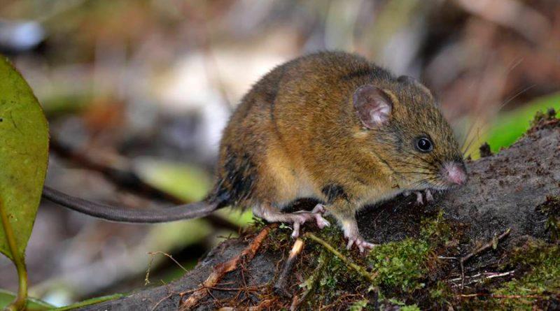 Thomasomys pardignasi, el nuevo mamífero descrito por la ciencia y que habita en Ecuador