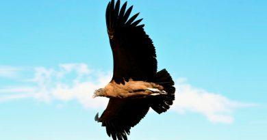 Advierten científicos que el cóndor andino se dirige rápido a su extinción