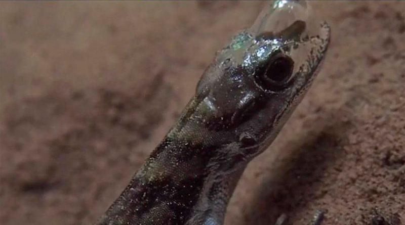 Descubren lagarto que al sumergirse en el agua respira usando una burbuja adherida a su cabeza