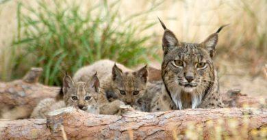 Población de lince ibérico se aleja del peligro de extinción