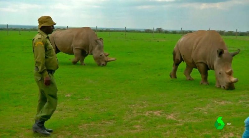 Najin y Fatu, las dos últimas rinocerontes blanco del norte, con las que se buscan evitar su extinción