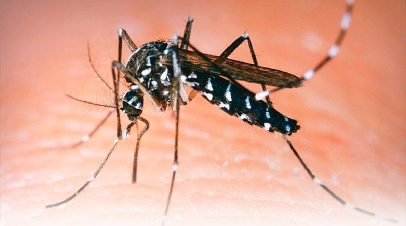 Guerra biológica de mosquitos: cómo es la especie creada para erradicar al dengue y al Zika
