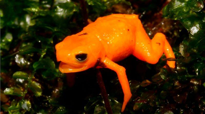 Científicos descubrieron en Brasil una nueva especie de sapo extremadamente venenoso