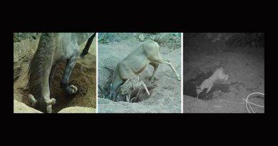 Pozos cavados por burros y caballos en desierto, oasis para especies