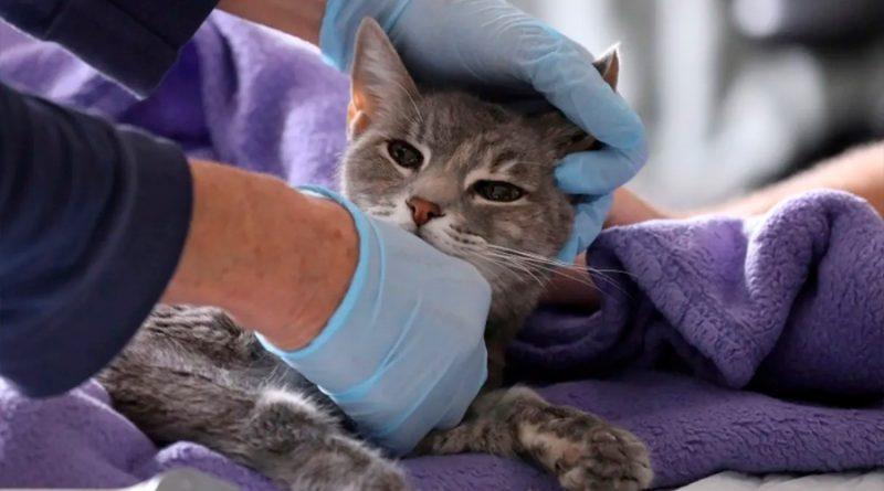 Gato muere por covid-19 y descubren evidencia de transmisión de humano a animal