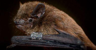 El sexto sentido de los murciélagos reside en las córneas