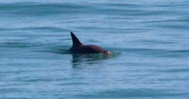 Al borde de la extinción… sobreviven 10 vaquitas marinas; 3 son crías: estudio