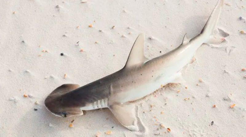 El GPS de la naturaleza: los tiburones usan campos magnéticos para orientarse