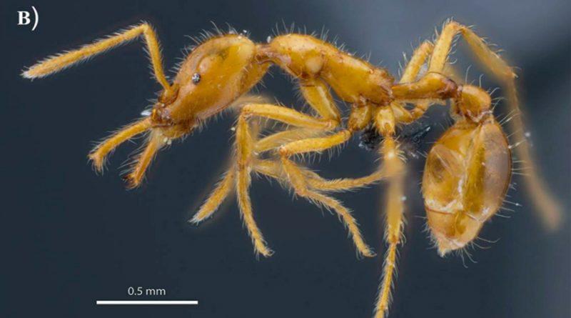 Especie de hormiga descubierta en Ecuador recibe el primer nombre científico de género neutro