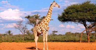 Nuevos análisis genómicos demuestran que hay cuatro especies de jirafa