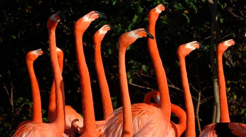 Zoológico de Miami crea grupo científico para preservar flamenco autóctono