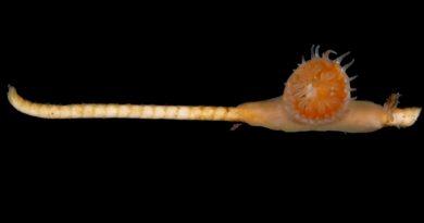 Descubren en el fondo del mar una criatura que se creía extinta hace 273 millones de años