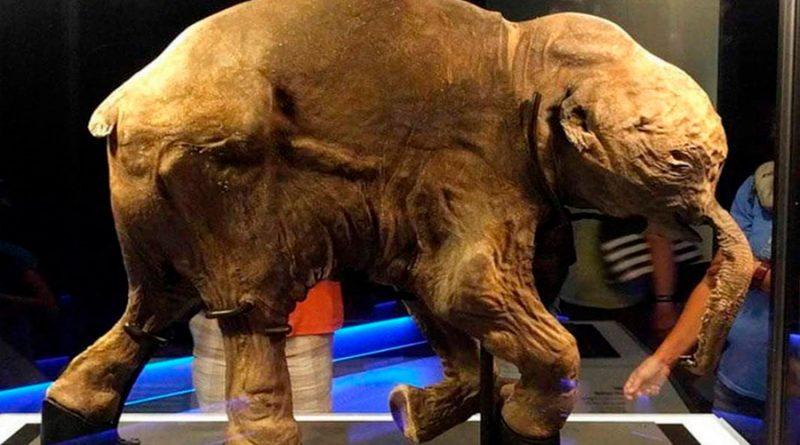 Lyuba, el bebé mamut que vivió hace 40 mil años y tuvo un triste final