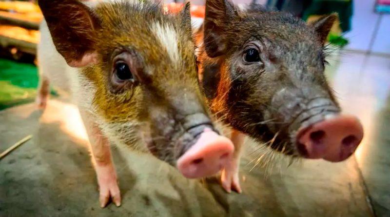 Ciertos mamíferos pueden respirar por el ano en caso de emergencias, dice estudio