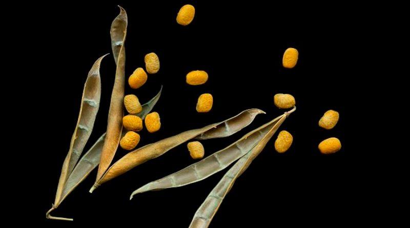 Intercambio de genes: así es como dos especies de frijol pueden hacerse resistentes al calor