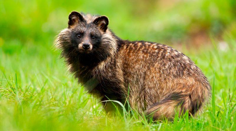 Un grupo de investigadores descifra el genoma del perro mapache