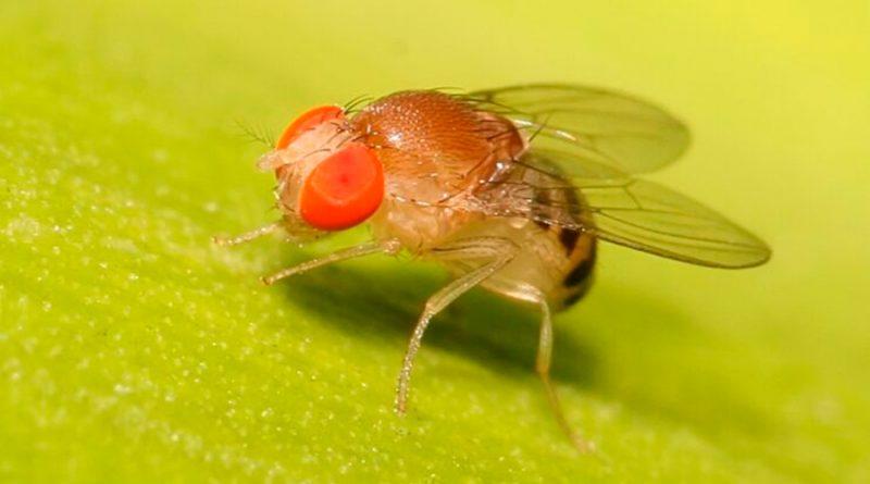 Las moscas y los mosquitos poseen unas 200 mil neuronas y pueden realizar múltiples tareas al unísono