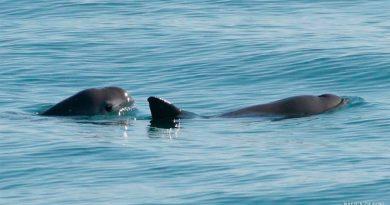 A punto de extinguirse las vaquitas marinas, pues quedan el menos 10 en el Golfo de California
