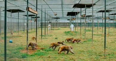El futuro de las vacunas depende de algo que escasea: los monos de laboratorio