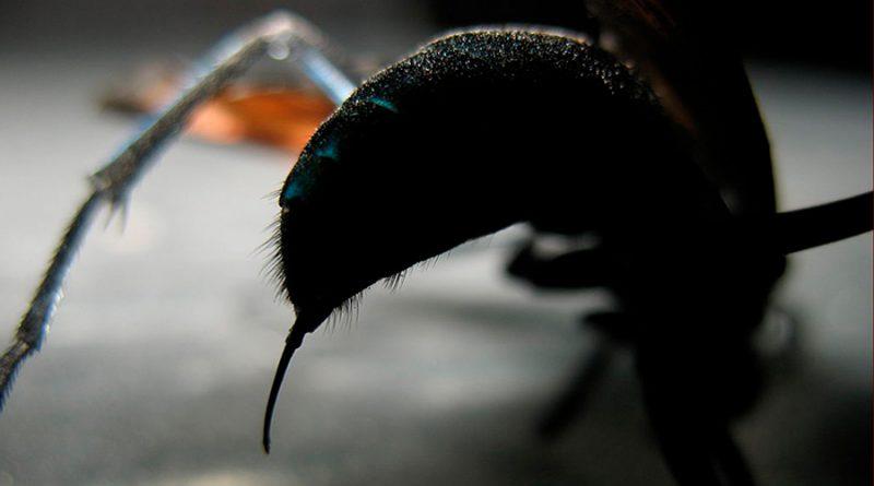 ¿Cuál es la picadura de insecto más dolorosa de la Tierra?